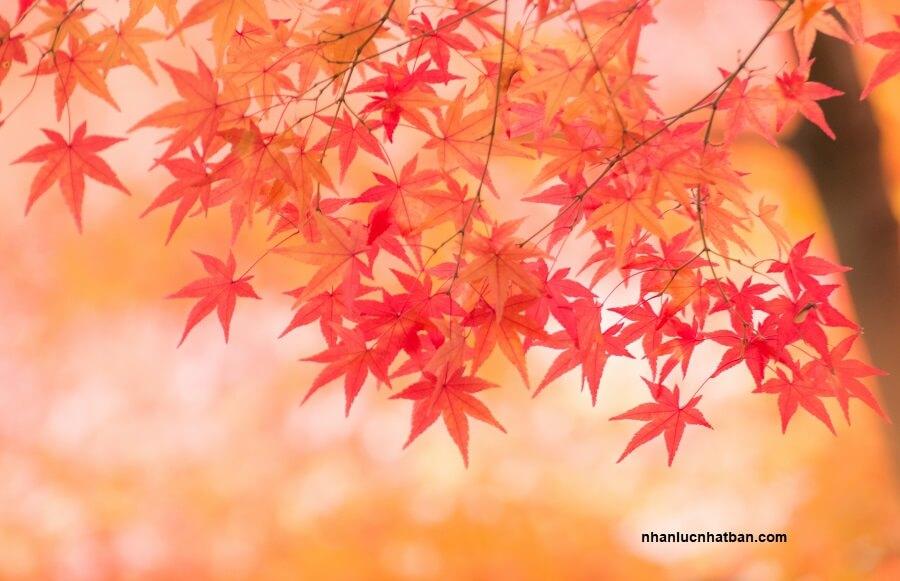 Mùa thu lá đỏ Nhật Bản