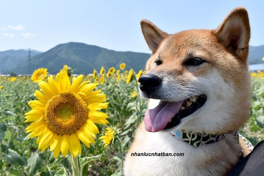 8 Giống Chó Nhật Bản Được Ưa Chuộng Nhất Tại Việt Nam