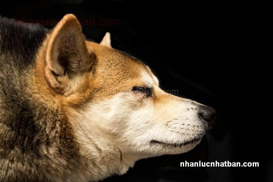 chó Kawakami