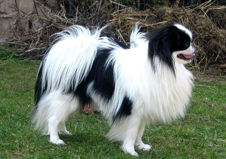 Chó lông xù nhật bản